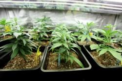 Kannabisz okozhat pszichiátriai megbetegedést