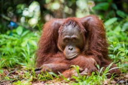 Orangutánok világnapja