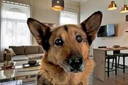 A nemzetközi lakásmegosztó és a gazdikereső kutyák