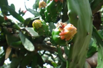 Egy kaktusz, ami ehető és segíthet az éhezés leküzdésében